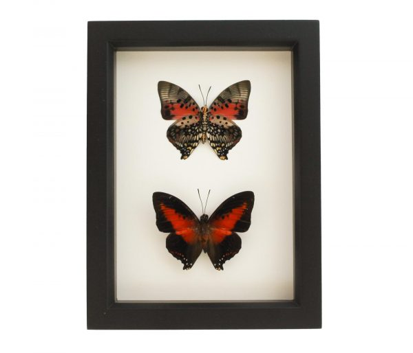 red charaxes collection