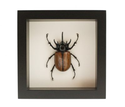 insect mount