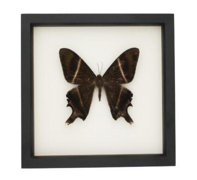 Framed Tropical Swallowtail Moth (Lyssa zampa)