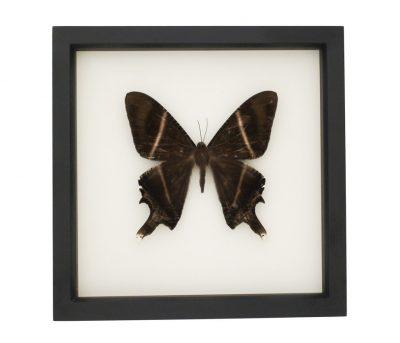 moth specimen