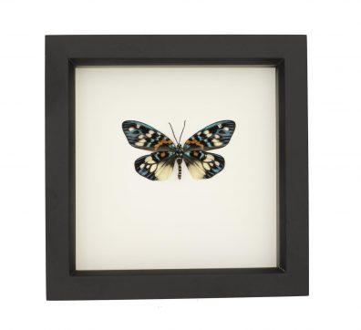 Framed Erasmia Moth underside
