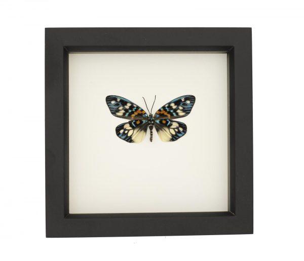erasmia moth underside
