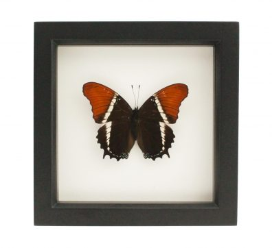 Framed Rusty Tipped Page Butterfly (Siproeta epaphus)