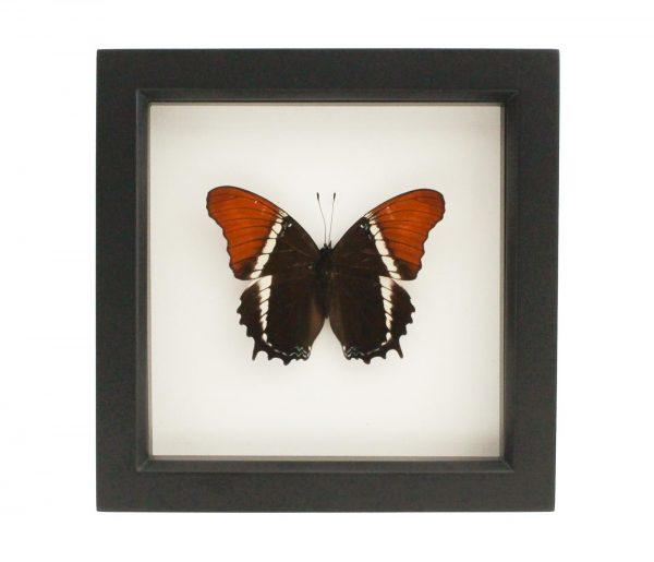 butterfly in box