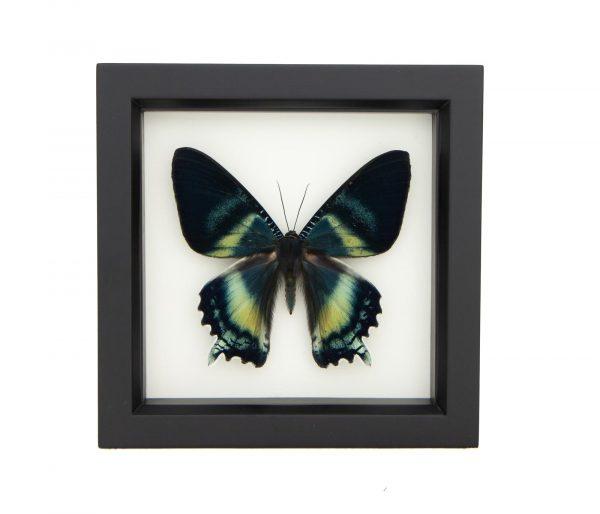 framed alcides orontes