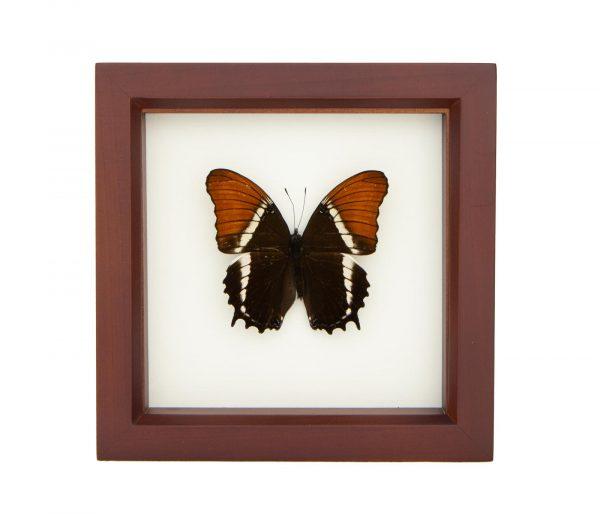 framed butterfly orange brown