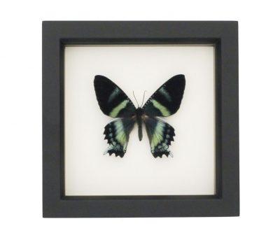 moth art framed