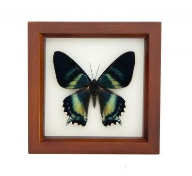 Framed Alcides Day Moth (Alcides orontes)