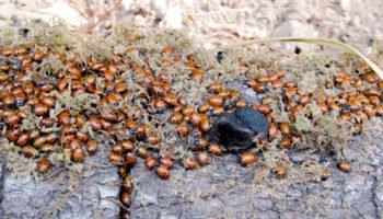 ladybugs-muir-woods