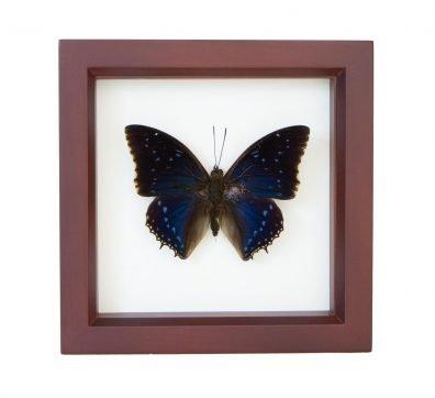 Framed Leaf Wing Charaxes (Charaxes tiridates)