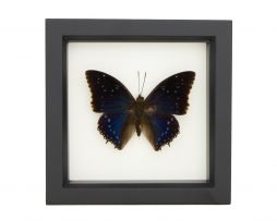framed charaxes tiridates
