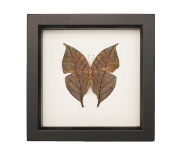 Indian Oakleaf Butterfly