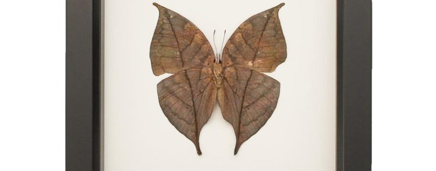 Indian Oakleaf Butterfly