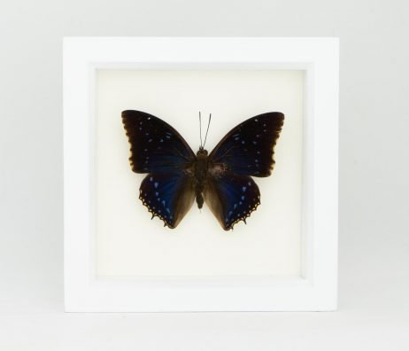 framed leaf wing butterfly