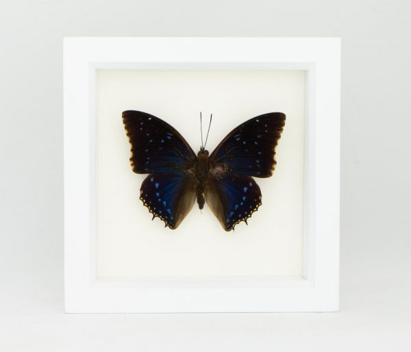 framed leaf wing butterfly