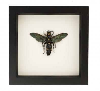 Framed Scoliid Wasp (Megascolia procer)