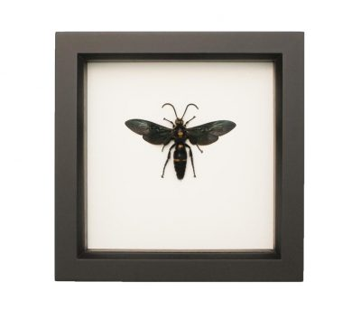 framed wasp