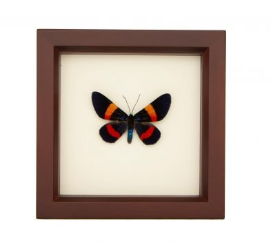 Framed Geometer Moth (Milionia drucei)
