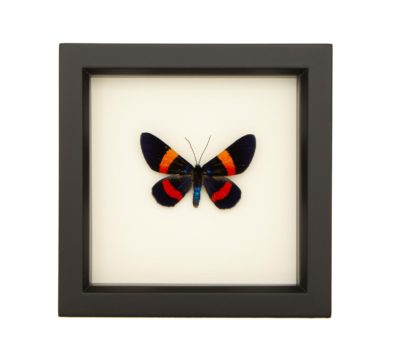 framed-Milionia-drucei