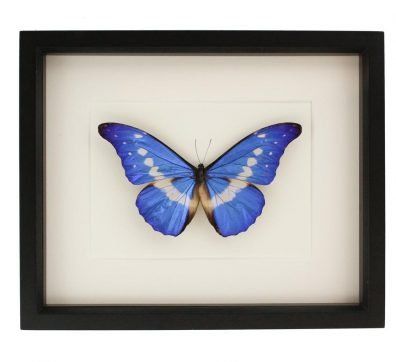 Framed Morpho rhetenor helena