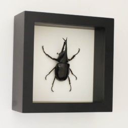 framed Xylotrupes gideon
