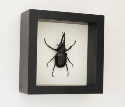 framed Xylotrupes gideon