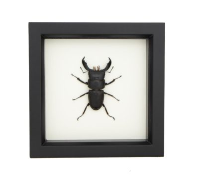 framed dorcus titanus