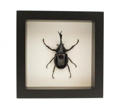 Framed Siamese Rhinoceros Beetle (Xylotrupes gideon)