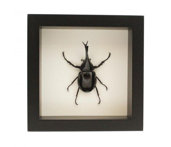 framed siamese rhinoceros-beetle