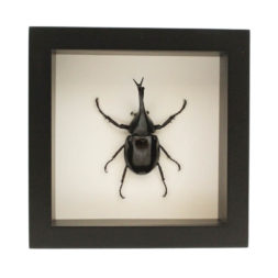 framed siamese rhinoceros-beetle