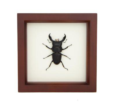 Framed Dorcus Titanus (Dorcus titanus)