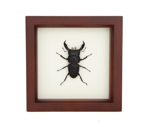 dorcus titanus taxidermy