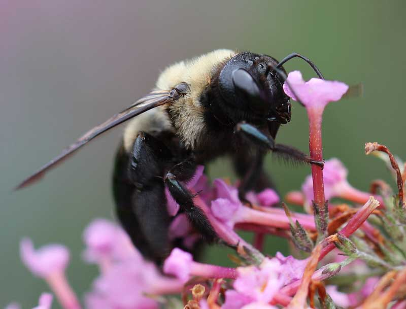 carpenter bee with nectar
