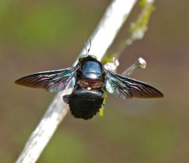 xylocopa carpenter bee