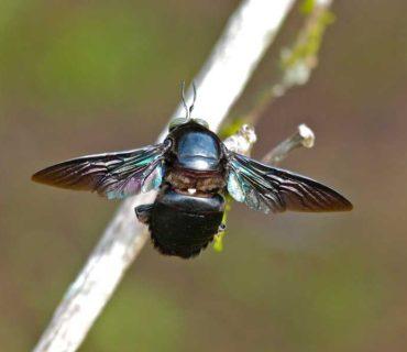 xylocopa carpenter bee