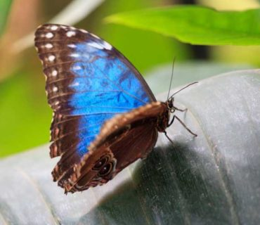 blue morpho butterlfy