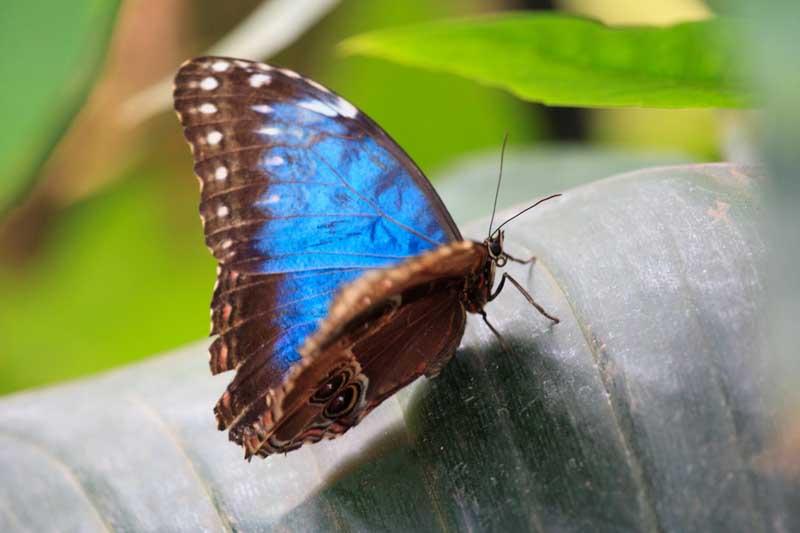 blue morpho butterlfy