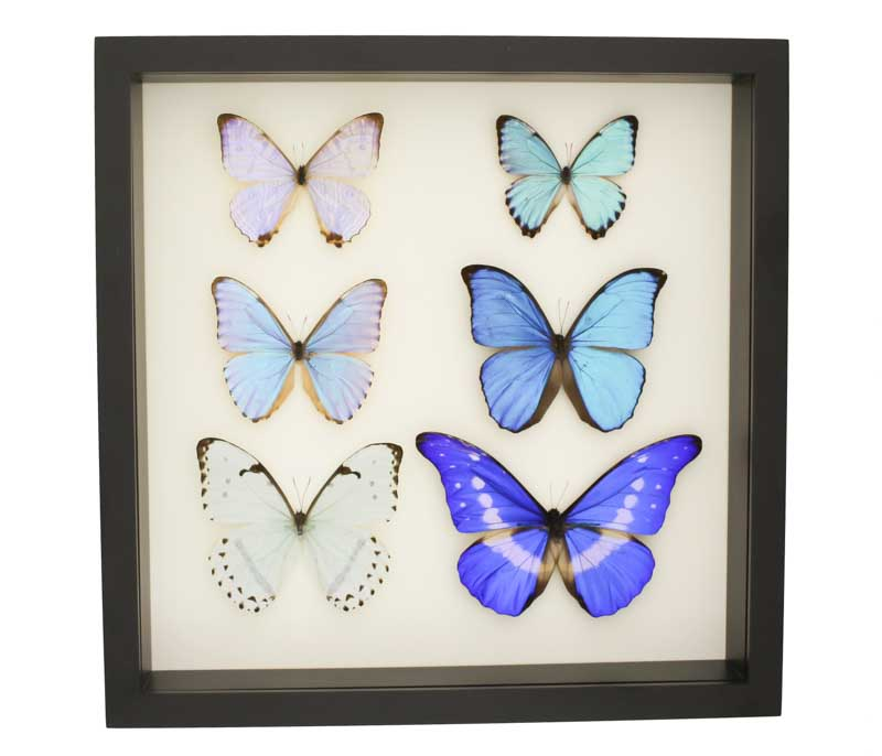 blue morpho collection display