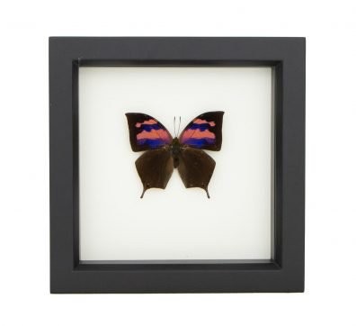 framed Fountainea nessus butterfly