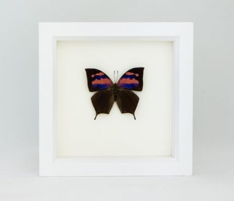 framed supurb leafwing white