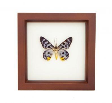 Framed Gray Tiger Moth (Dysphania transducta)
