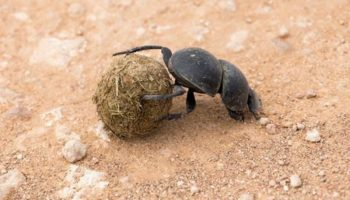 scarab beetle with dung