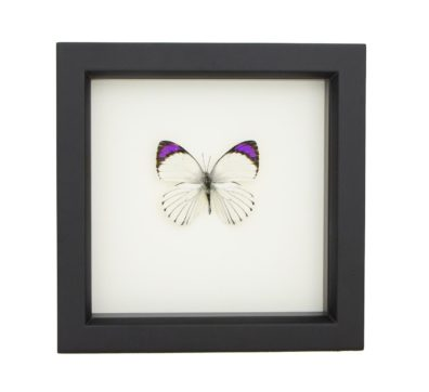 Framed Common Purple Tip Butterfly (Colotis ione)