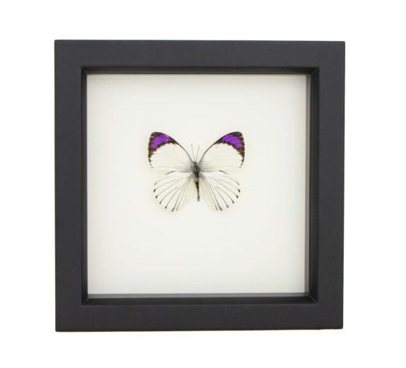framed Colotis ione