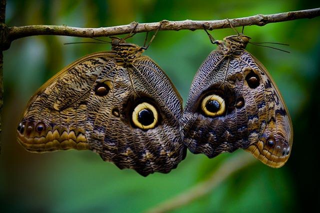 Owl Butterflies hanging