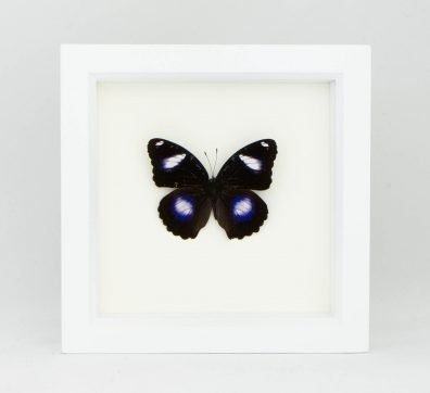 Framed Blue Moon Butterfly (Hypolimnas bolina)