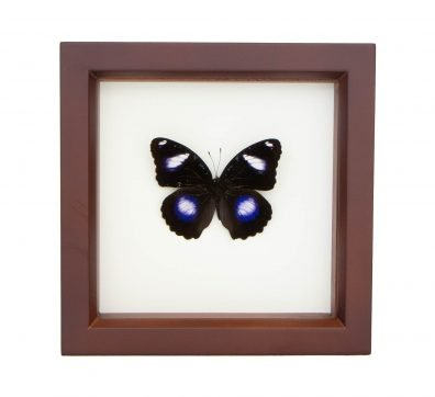 Framed Blue Moon Butterfly (Hypolimnas bolina)
