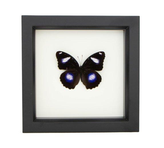 framed hypolimnas bolina