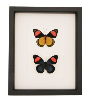 Painted-beauty-butterfly-collection