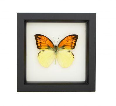 Framed Brimstone Wing Butterfly (Hebomoia leucippe)